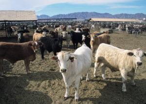 Tehén farm az USA-ban