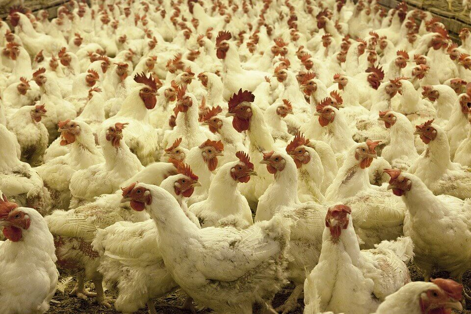 Csirke farm